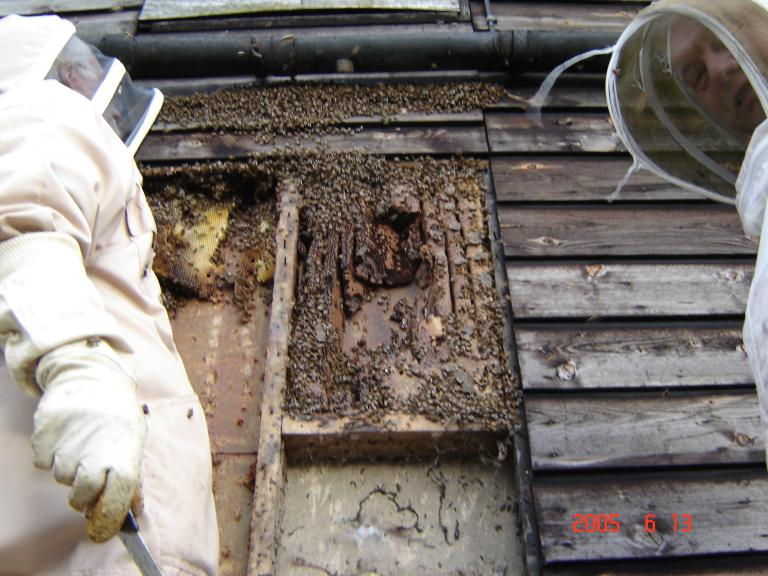 Advice on Bees Nests – Derbyshire Beekeepers