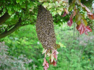 A Swarm Settled on a Tree Branch