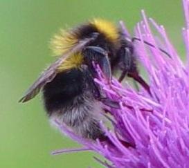 BumblebeeSmall
